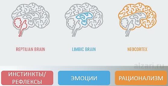 Основные виды мозга в нейромаркетинге